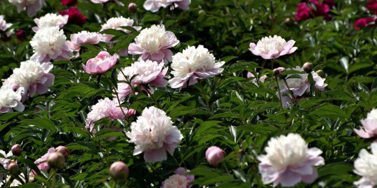 Весна - подкормка пионов