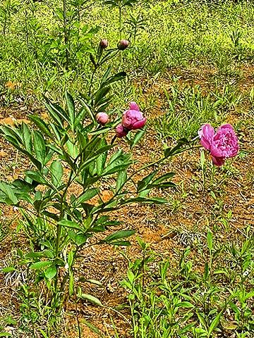 Подкормка пионов весной