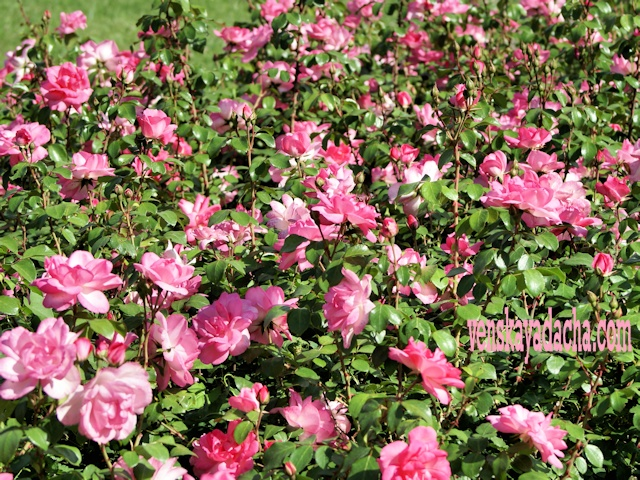 Весенняя посадка роз
