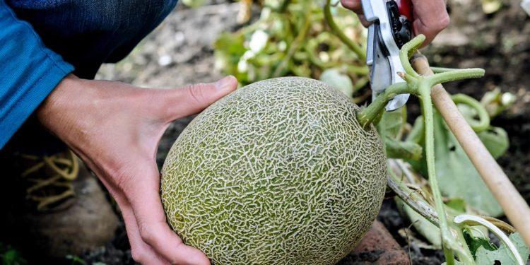 Дыня - выращивание