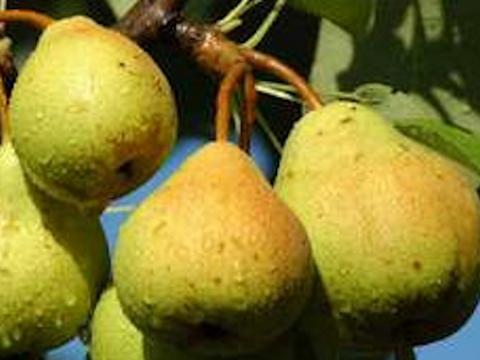 Полезные свойства груш