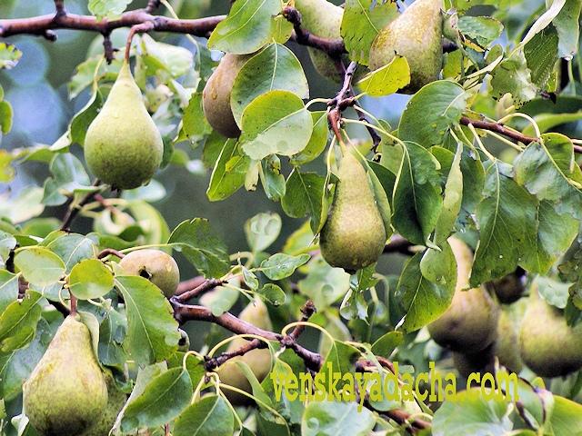 Полезные свойства груши