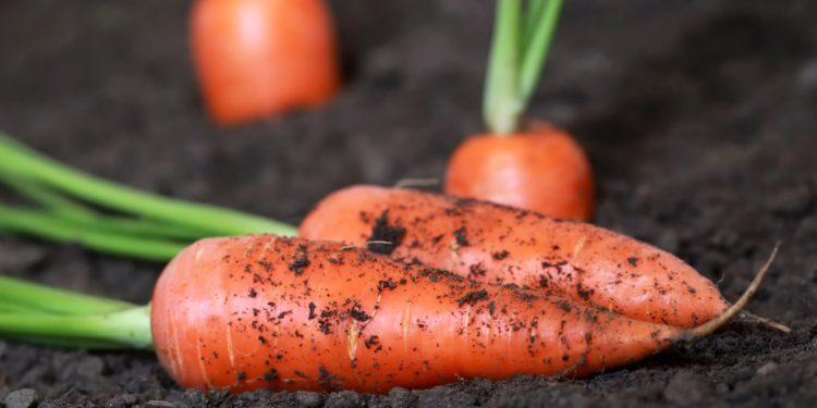 Морковь - сорта под зиму