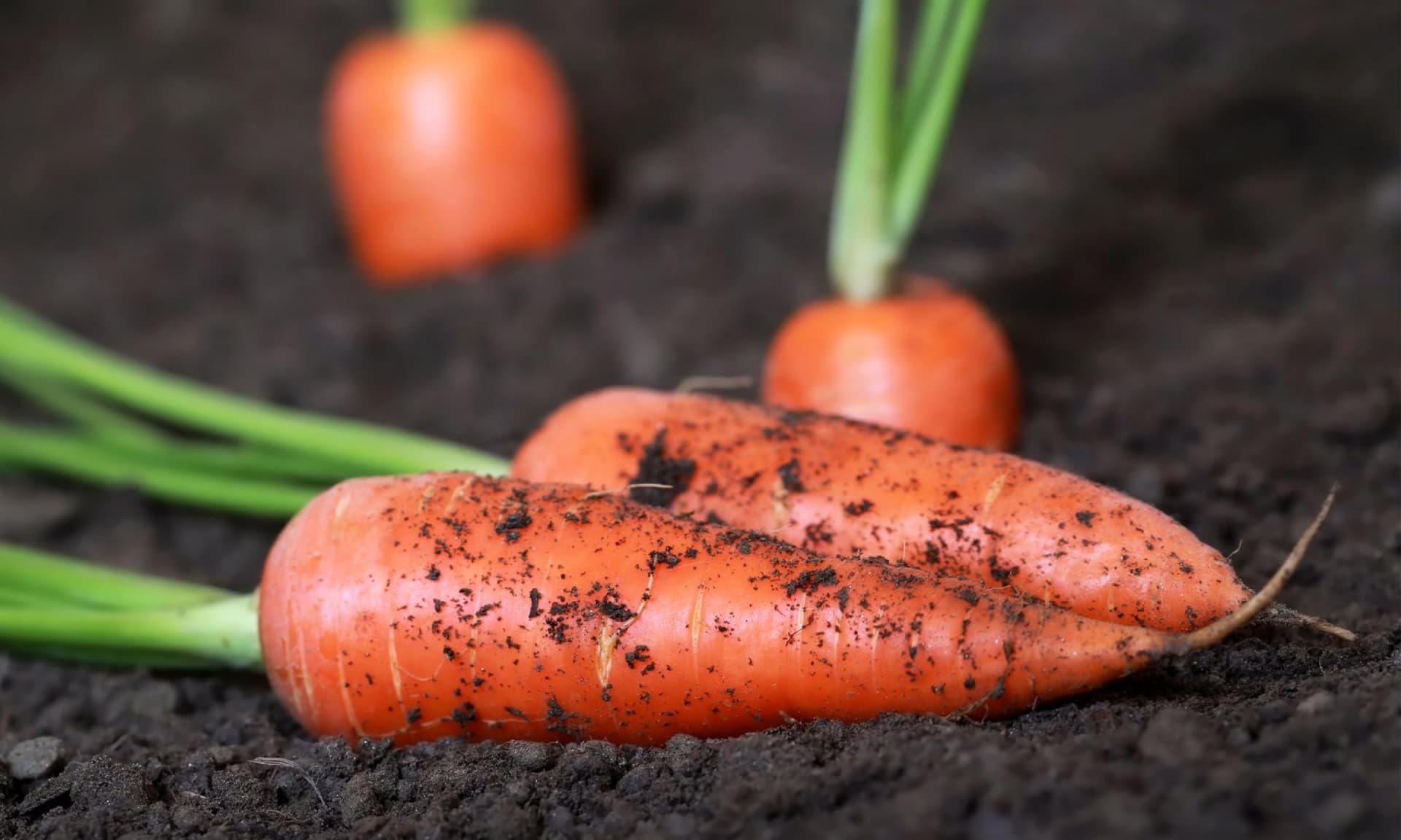 Когда, и как правильно сажать морковь семенами в открытом грунте?