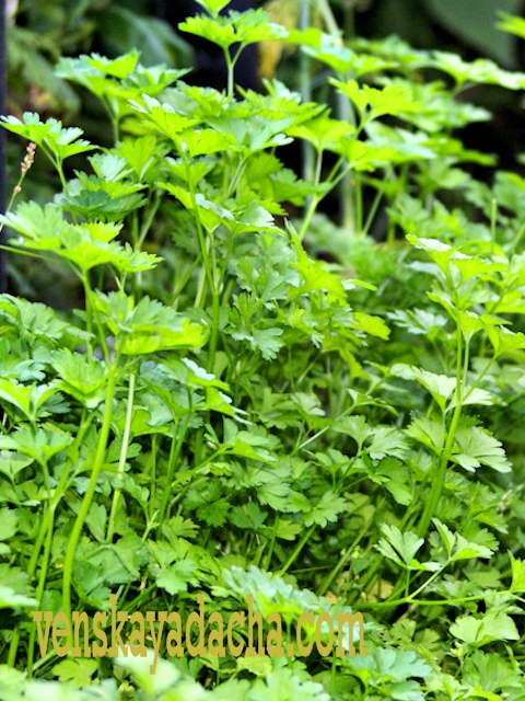 Повторные посевы и посадки огородных культур в июне