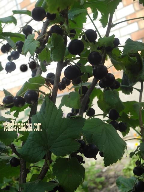 Дачные растения укрепят иммунитет