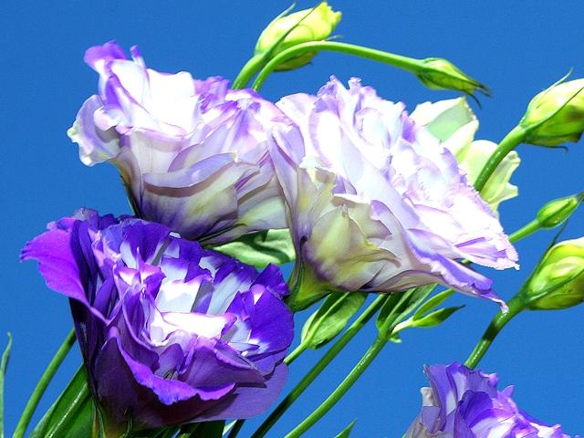Лизиантус крупноцветковый
