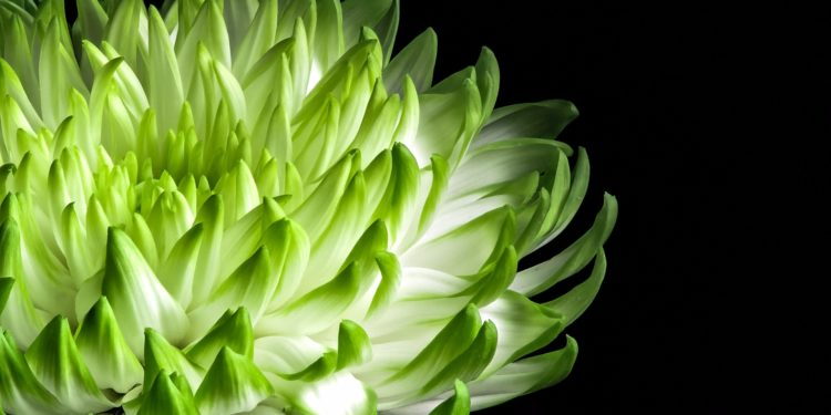 Хризантемы - черенкование