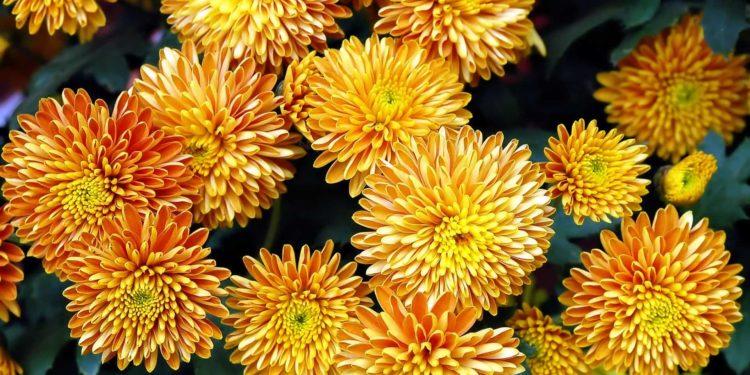Хризантемы - укоренение черенков