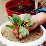 Укоренение черенков хризантем