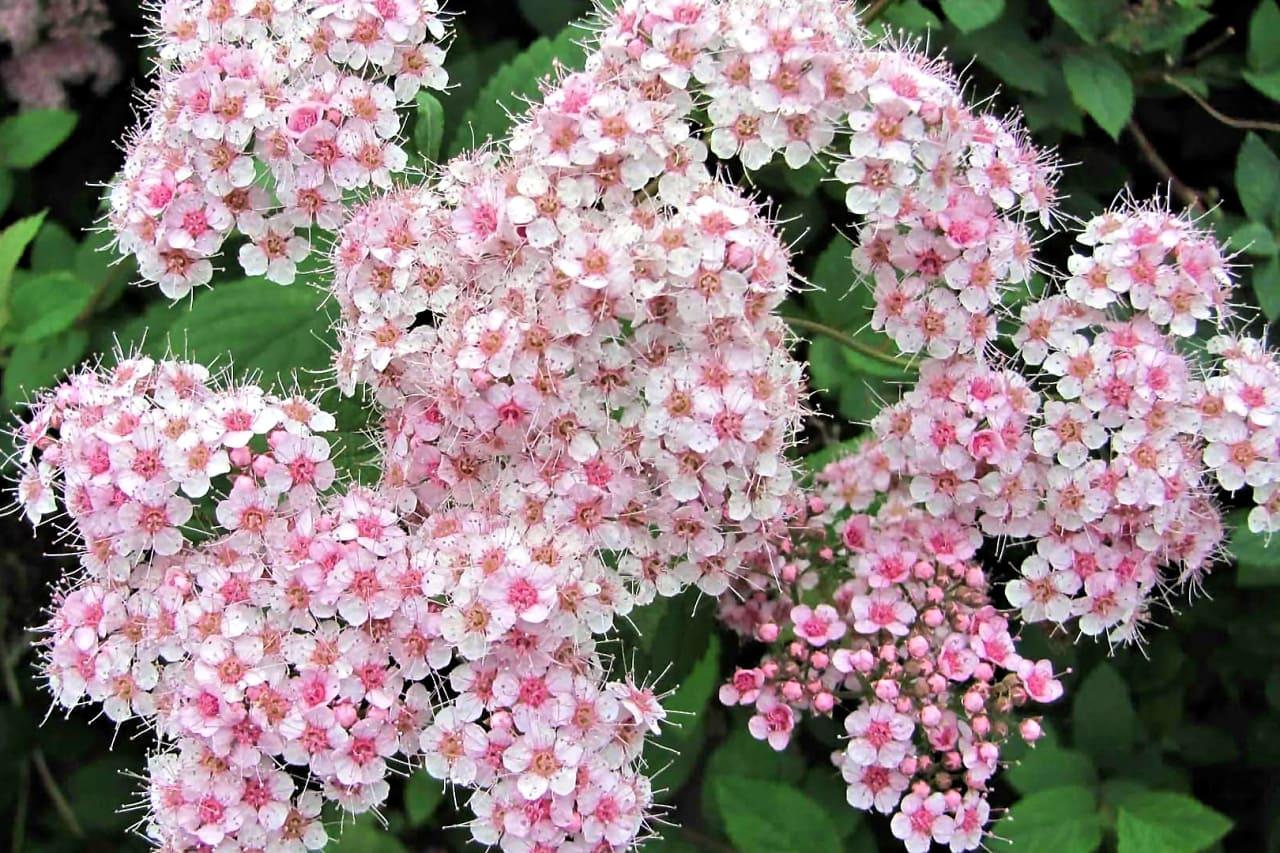 Спирея — царица садовых композиций