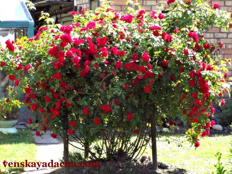 Плетистые розы на дачном участке
