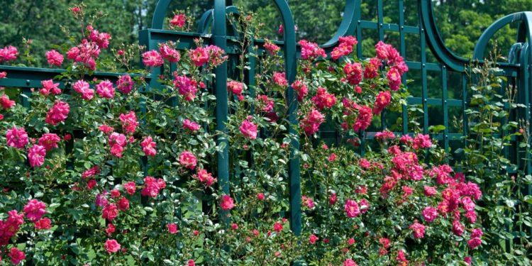Плетистые розы - посадка