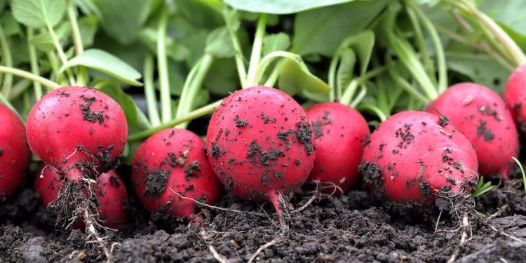 Урожай редиса и его хранение