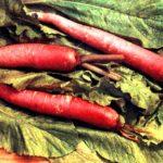 Сорта осеннего редиса