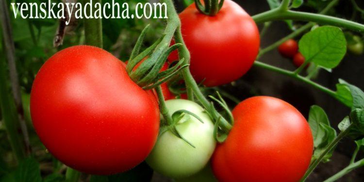 Уборка урожая томатов