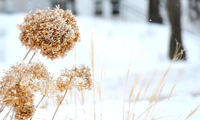 Подготовка гортензии к зиме
