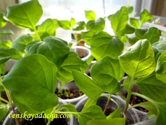 Выращивание баклажана через рассаду