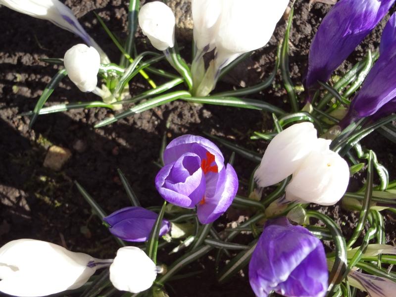 Как ухаживать за крокусами после цветения