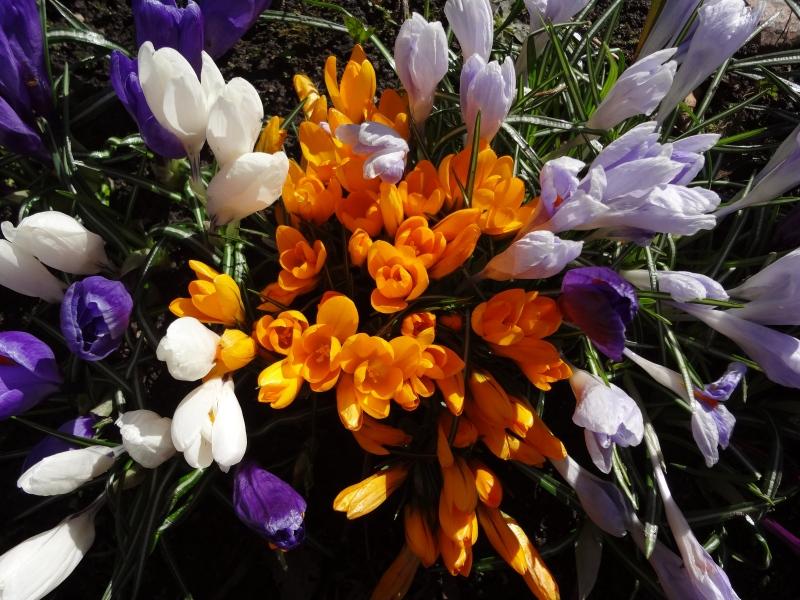 Крокусы белые, оранжевые, фиолетовые