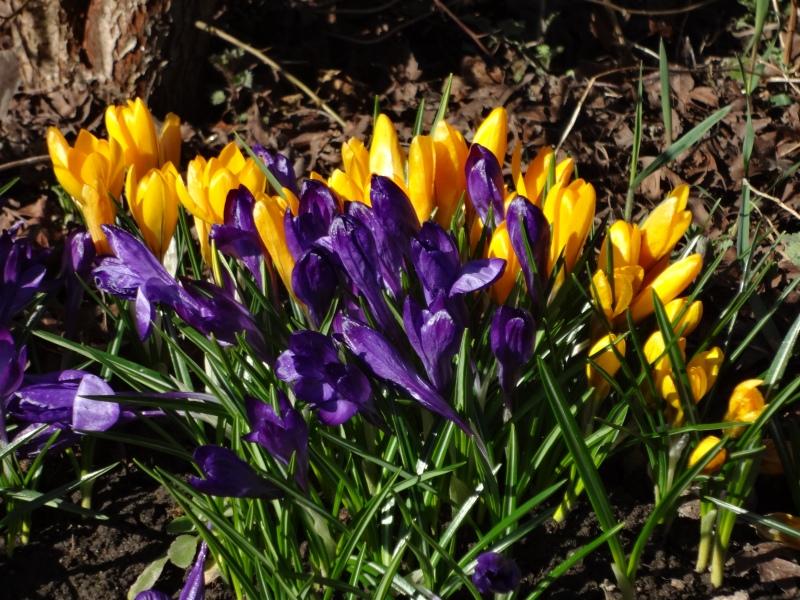 Крокусы желтые и фиолетовые
