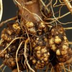 Утолщения на корнях