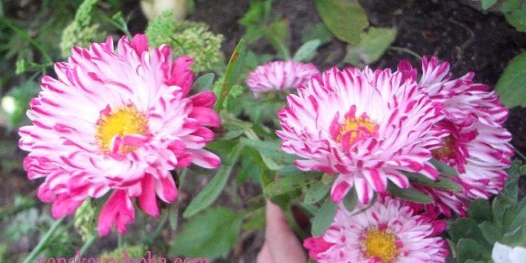астра садовая двухцветная