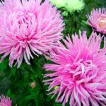 Астра садовая хризантемовидная розовая
