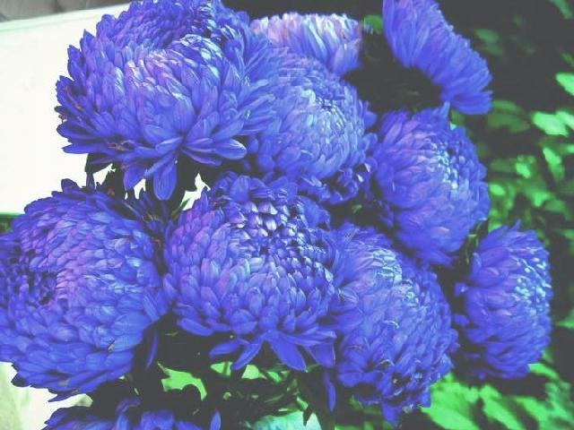 Астра - шаровидные соцветия