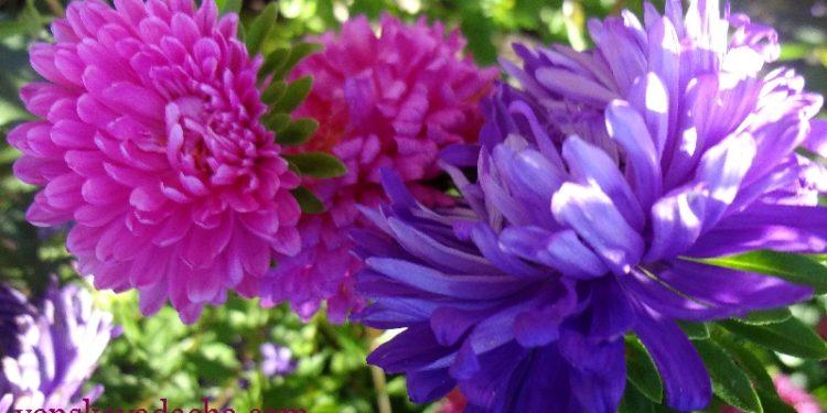 Астры садовые