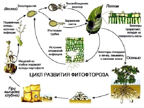 Цикл развития фитофторы