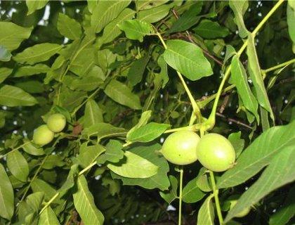 Недозрелый грецкий орех