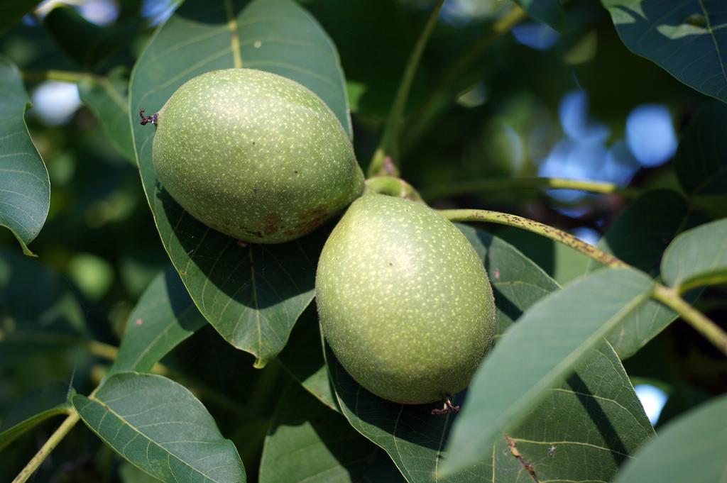 Листья и незрелые плоды грецкого ореха