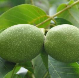 Свойства зеленых грецких орехов