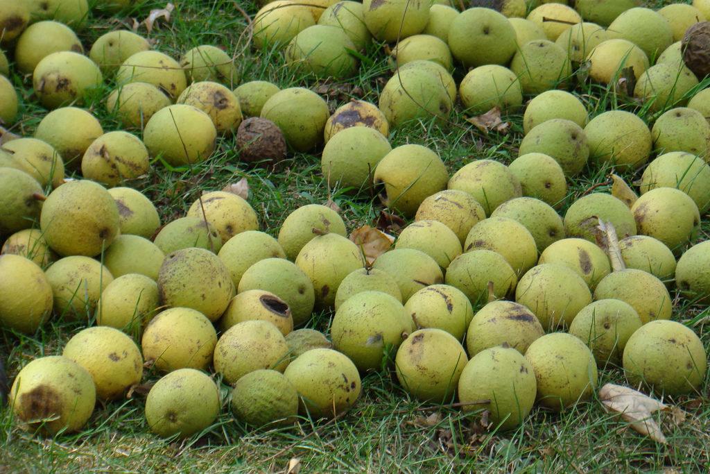 Урожай грецкого ореха
