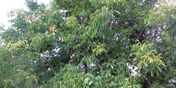 Высокорослое дерево грецкого ореха
