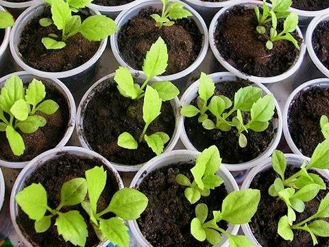 Выращивание рассады садовых астр