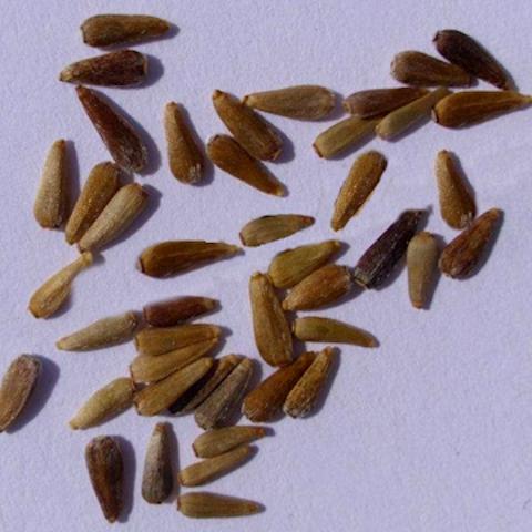 Выращивание астры рассадой