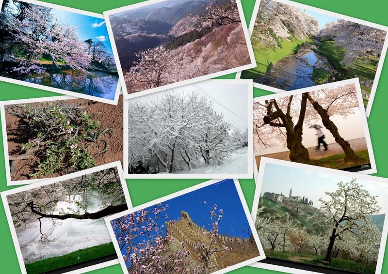 Ареал обитания вишни