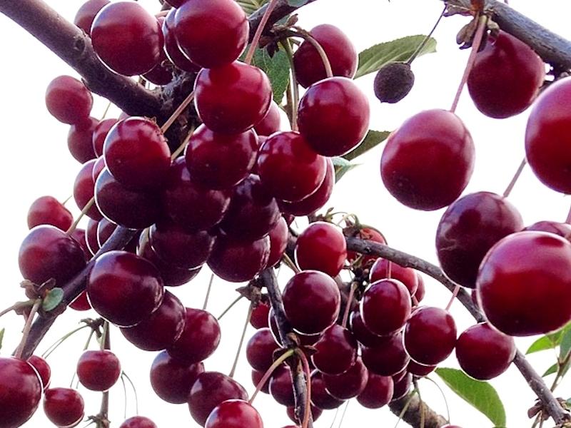 Вишня-плоды