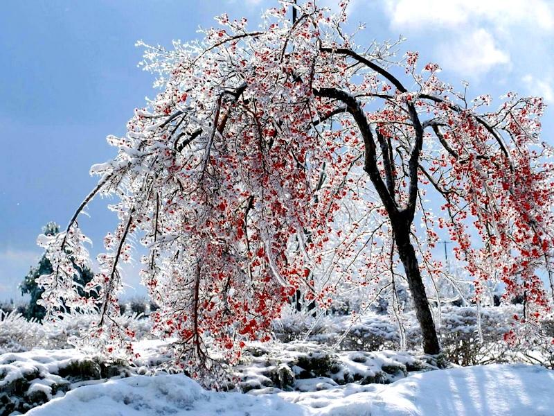 Замерзша вишня