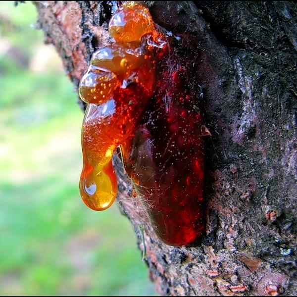 Лечебные свойства вишни