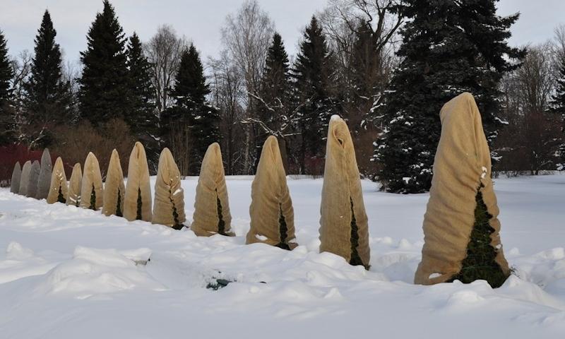 Укрытие хвойных на зиму