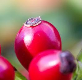 Крупноплодный шиповник