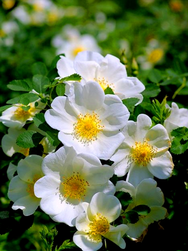 Шиповник Овал - цветок