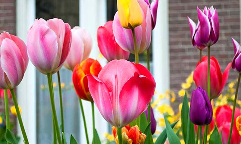 тюльпаны на даче