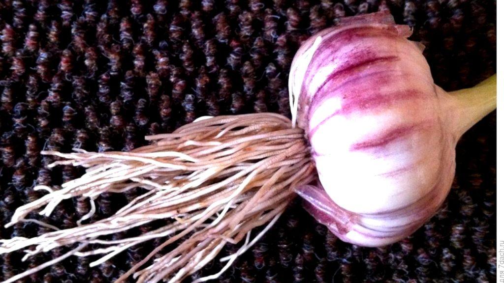 Обрезка корней чеснока